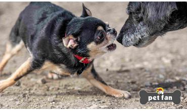 Γιατί οι μικρόσωμοι σκύλοι δείχνουν δυσανάλογη επιθετικότητα?